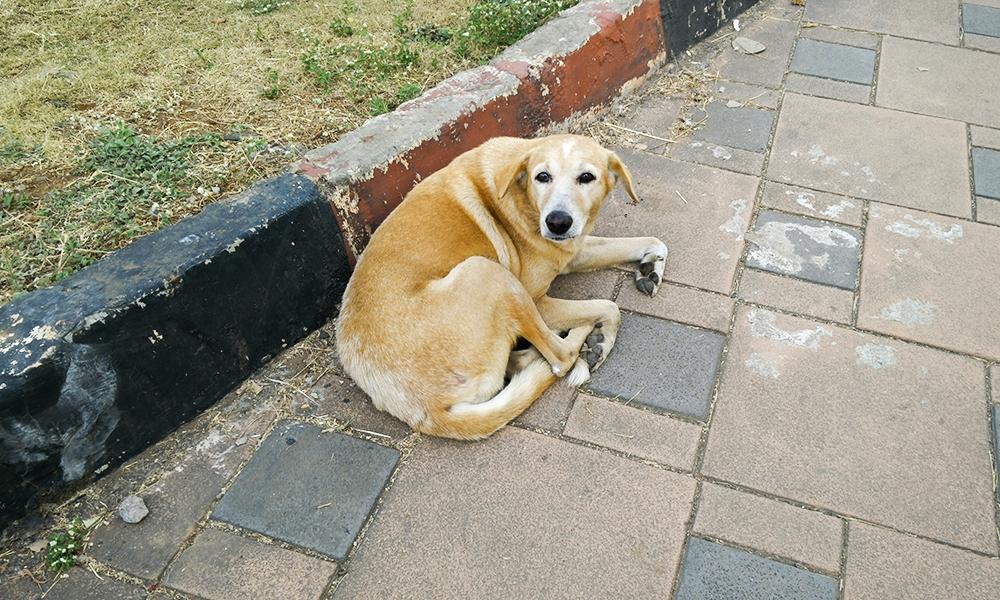 Male Dog Neuter