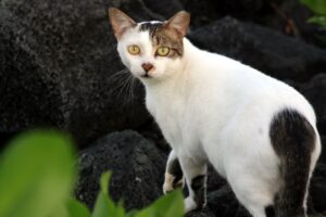 Feral cat with tipped ear indicating it has been spayed or neutered and vaccinated
