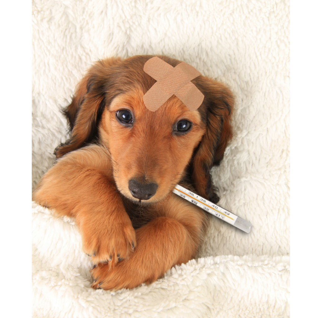 sick dog with thermometer
